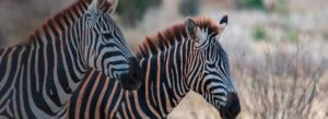 Header-Two-African-Zebras-Gradient