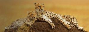 Header-two-cheetahs-Resting-Gradient